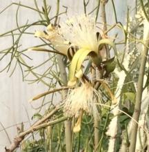 ボンバックスの花